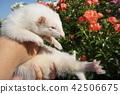 ผ่านหุบเขา Ferret (Albino) 42506675