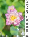 수향 사와 아야메 공원의 연꽃 축제 42510687