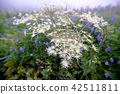 산야초, 이부키야마, 이부키 산 42511811