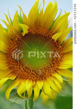 向日葵和蜜蜂 42517240