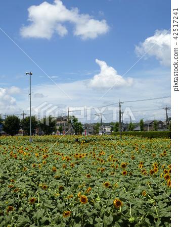 Sunflower Garden Musashimurayama (4) 42517241