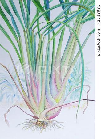 Watercolor painting of lemon grass. 42518981