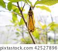 雄鹿甲蟲蛹 42527896