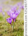 crocus, purple, flower 42528077