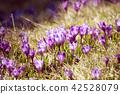 crocus, purple, flower 42528079