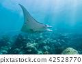 산호초의 바다를 헤엄 치는 만타 (Manta birostris) 야프 섬 마이크로 네시아 42528770