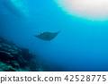 밝은 산호초의 바다를 헤엄 치는 만타 (Manta birostris) 야프 섬 마이크로 네시아 42528775