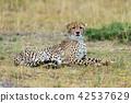 Wild african cheetah 42537629
