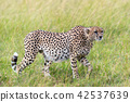 Wild african cheetah 42537639