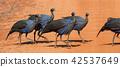 Acryllium vulturinum (Vulturine Guineafowl) 42537649