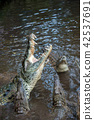 crocodile, reptile, animal 42537691