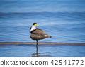 조류, 새, 바다 42541772