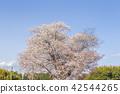 cherry blossom, cherry tree, spring 42544265