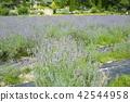 라벤더, 꽃밭, 여름 42544958