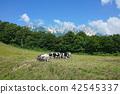 North Kitaeda Highland放牧牛白馬村 42545337