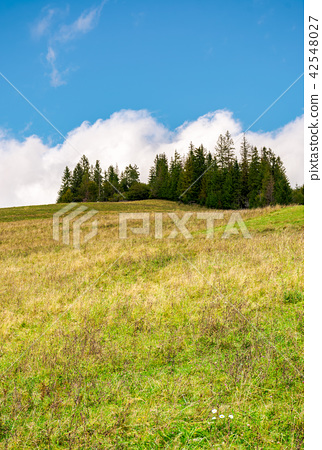 spruce woodlot on top of a hill 42548027