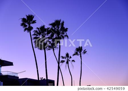 在黃昏的棕櫚樹 42549059