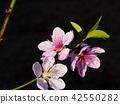 Peach blossom in the garden 42550282