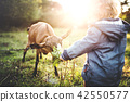 A little toddler boy feeding a goat outdoors on a meadow at sunset. 42550577