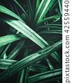 Tropical pandan leaves 42559440