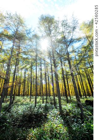 가을 다테시나 고원 단풍 시라 카바 근처의 숲길 42560285