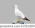 gull, gulls, sea gull 42561809