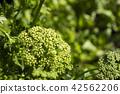 밭의 파슬리의 꽃 42562206