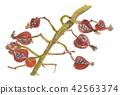 월 복숭아 열매 Alpinia zerumbet 42563374