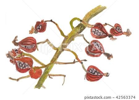 月亮桃子果子Alpinia zerumbet 42563374
