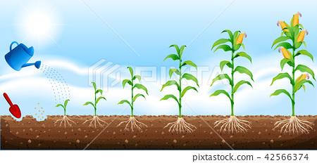 A set of corn development 42566374