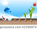 A Process of Planting Tulip 42566874