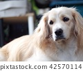 cute lovely white long hair handsome young dog 42570114