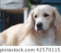 cute lovely white long hair handsome young dog 42570115