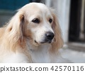 cute lovely white long hair handsome young dog 42570116
