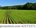 홋카이도 오토 베 정 콩 밭의 산복 풍경을 촬영 42573371