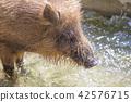 动物园 野猪 杂食动物 42576715