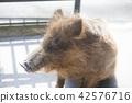 动物园 野猪 杂食动物 42576716