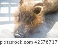 动物园 野猪 杂食动物 42576717