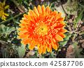 Orange Gerbera Flower in Gerbera Garden 42587706