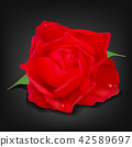 Realistic yellow rose on dark background 42589697