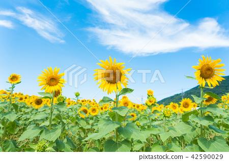 向日葵藍天雲彩 42590029