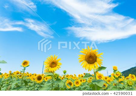 向日葵藍天雲彩 42590031