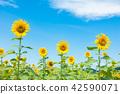 向日葵藍天雲彩 42590071