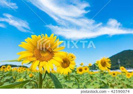 向日葵藍天雲彩 42590074