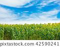 向日葵蓝天云彩 42590241
