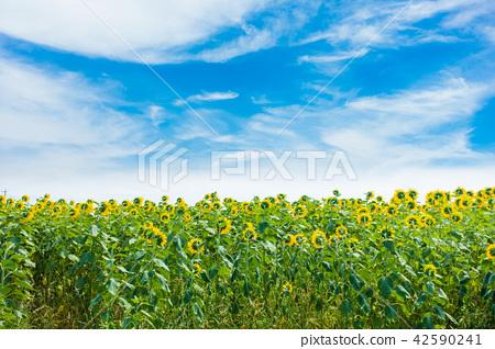 向日葵藍天雲彩 42590241