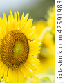 해바라기, 꿀벌, 꽃 42591983