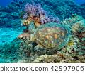 거북이, 바다거북, 푸른바다거북 42597906
