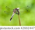 白尾灰蜻 白尾笊籬 蜻蜓 42602447