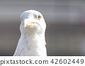 海鷗 鷗 鳥兒 42602449